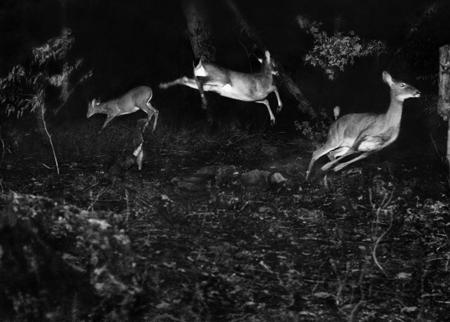 George Shiras, Trois Cerfs De Virginie, Michigan, Vers 1893-1898 © National Geographic Creative Archives